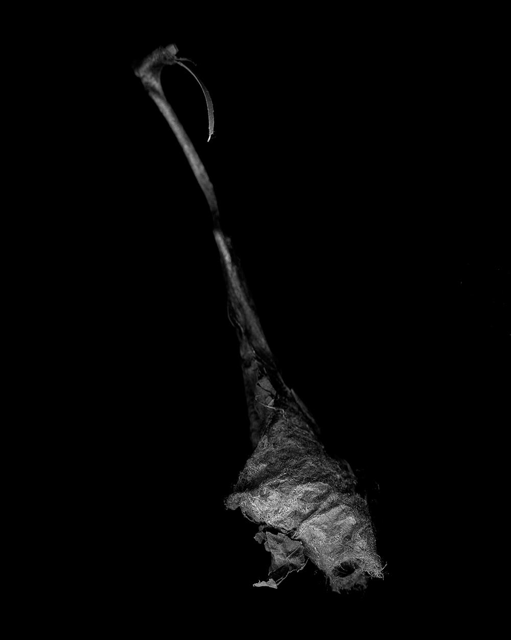 Callosamia Promethea Cocoon I (2014)