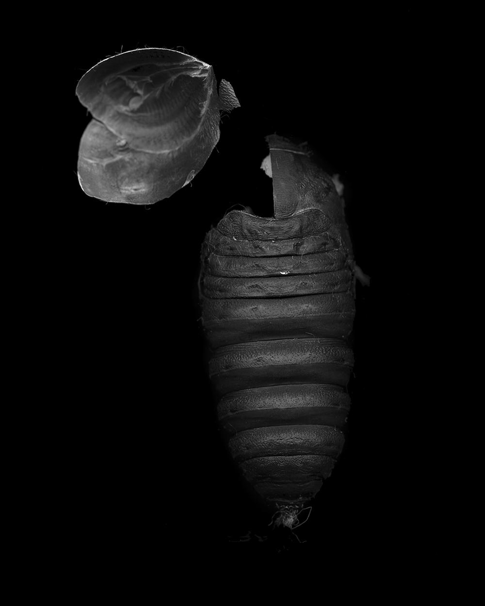 Antheraea Polyphemus Pupa (2014)