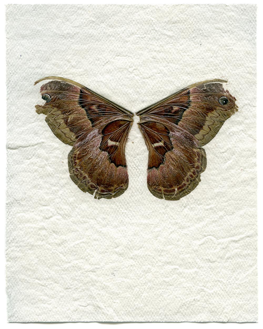 Female Promethea Moth (2014)