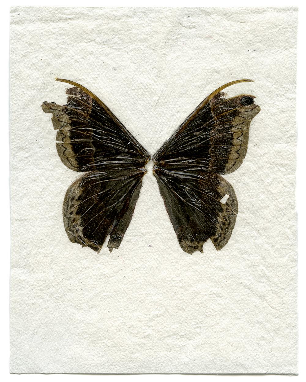Male Promethea Moth (2014)