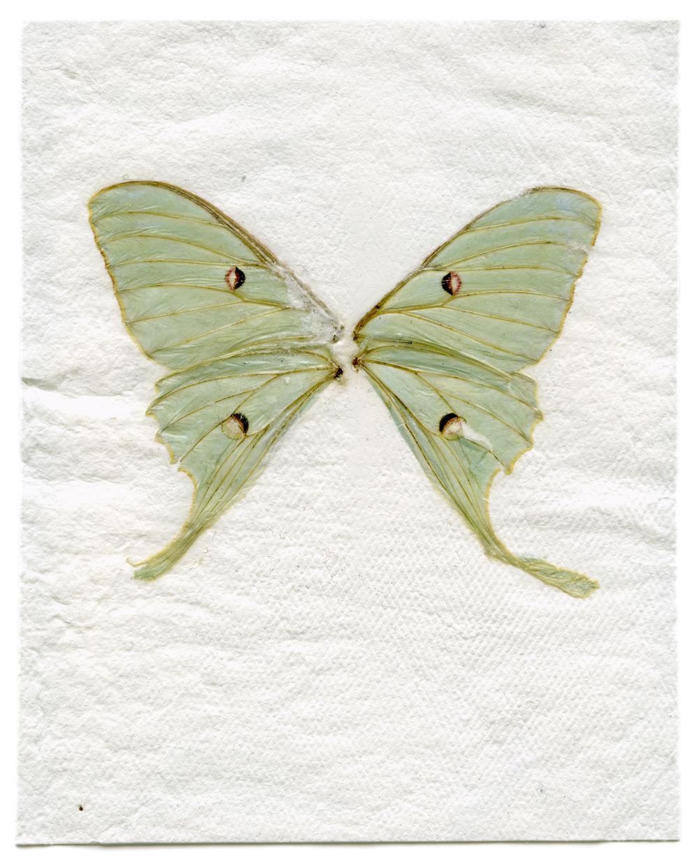 Luna Moth (2014)
