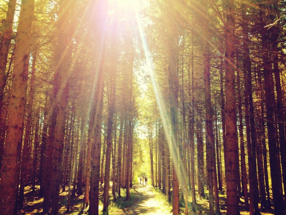 Giant pine trees