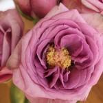 Rose used in Caldrea's Palmarosa Wild Mint fragrance