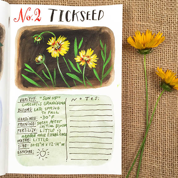 Tickseed © Angela Staehling