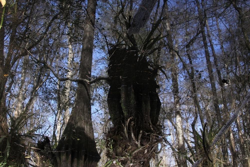Everglade3.jpg