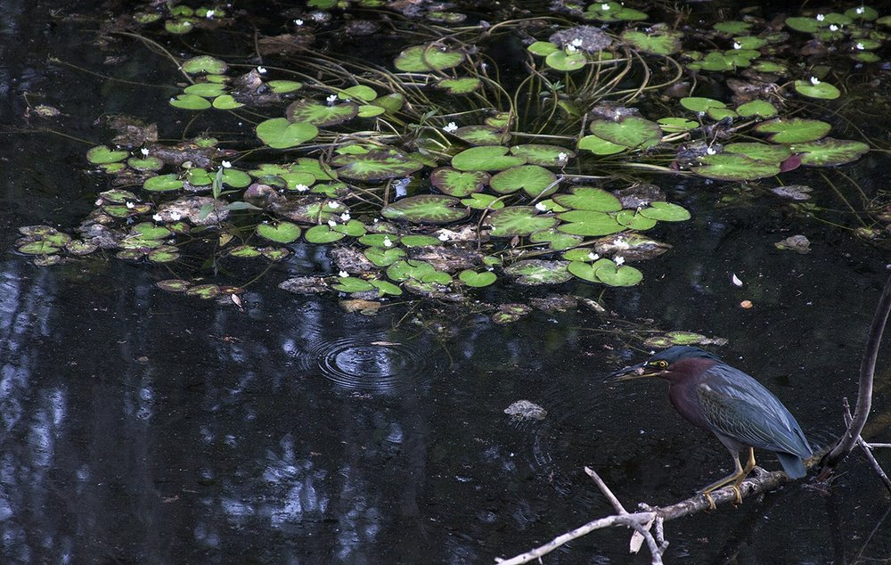 Everglade15.jpg