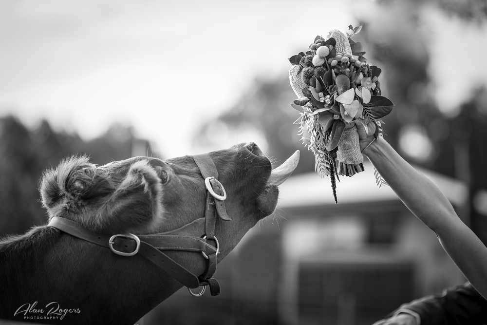 cow-wants-the-bouquet.jpg