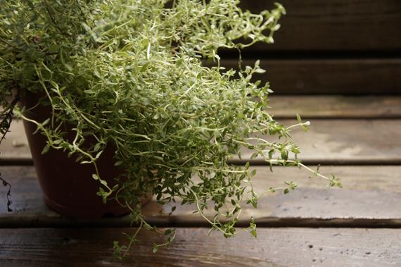 1.百里香(Thyme) 百里香的葉子雖然很小,可是味道相當芬芳,有讓口氣清新的效果。在中古世紀希臘有一個有趣的說法:燃燒百里香的葉子來薰香環境,香氣可以讓人快樂,不會陷入悲傷的情緒而變得更堅強。(改天也要來試試!)百里香跟大多數的香草不同,它經得起久煮,所以只要份量控制得當,不太會蓋過其他的味道,反而會互相幫助融合更美味的味道。法國料理中,百里香已經成為不可或缺的材料,從法式普羅旺斯燉菜(沒錯!就是料理鼠王出現的那道菜)到加泰隆尼亞式燉魚湯,幾乎每一種都會用到百里香;則在墨西哥和拉丁美洲,會將百里香配上辣椒來使用。 百里香需要排水良好的土壤,在夏季雨量太大的時候要避免不要讓它積水。它也需要非常充足的日照,即使在陽台也可能會光線不足。購買百里香前要記得用手輕輕摸過植株,確定有飄散出淡淡香味的才是值得買的。