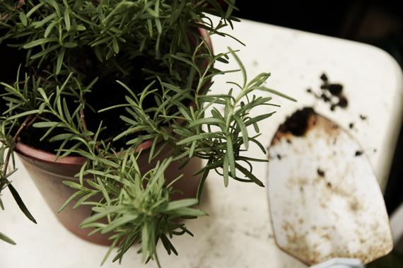 2.迷迭香(Rosemary) 迷迭香比上其他香草更為耐寒與耐旱,所以可以說是非常好種的香草。樣子像松針,香味非常濃郁,帶有一些松木和樟腦的香氣。迷迭香的味道非常強烈,不太容易被其他味道蓋過。相對的,在料理時要注意份量的拿捏,免得作為增添風味的輔助工具反而蓋過食物的香氣就會相當可惜。傳統的地中海料理會用迷迭香來增加食物風味,像是將迷迭香配上濃厚橄欖油所炒過的蔬菜。迷迭香也常常運用在燒烤肉類的調味料,在肉下方鋪上一層迷迭香,或是直接用迷迭香串成烤肉串。(soac的火烤馬鈴薯與安康魚迷迭香串)除此之外,迷迭香的葉子還可以作為花草茶,平撫你的情緒與安眠的效果喔! 迷迭香需要排水良好的土壤和充足的日照,利用春天的時候修剪一下嫩枝,就會長得非常茂盛。迷迭香算是容易買到的香草,所以建議可以直接購買植株回來種,因為單買迷迭香的枝葉可能會有點不划算。