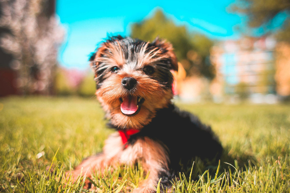 cute-smiling-yorkshire-terrier-puppy_free_stock_photos_picjumbo_HNCK5284-2210x1473.jpg