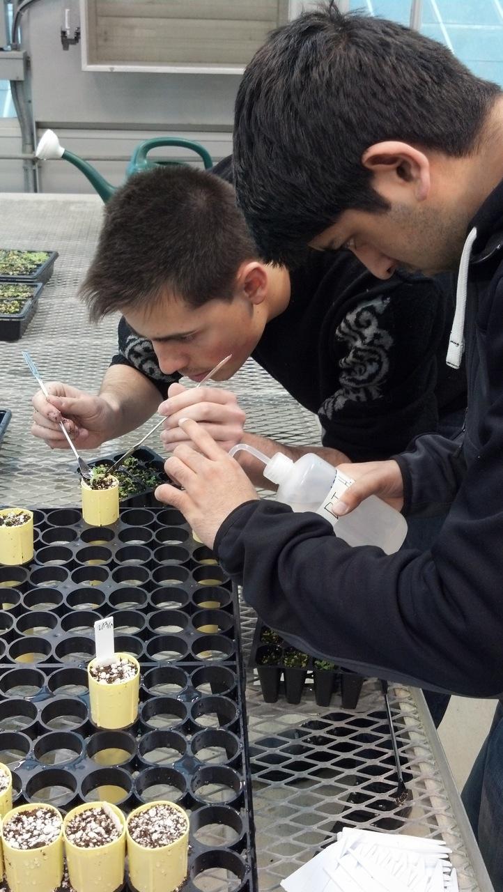 Avi and Khasham transplanting Mimulus seedlings