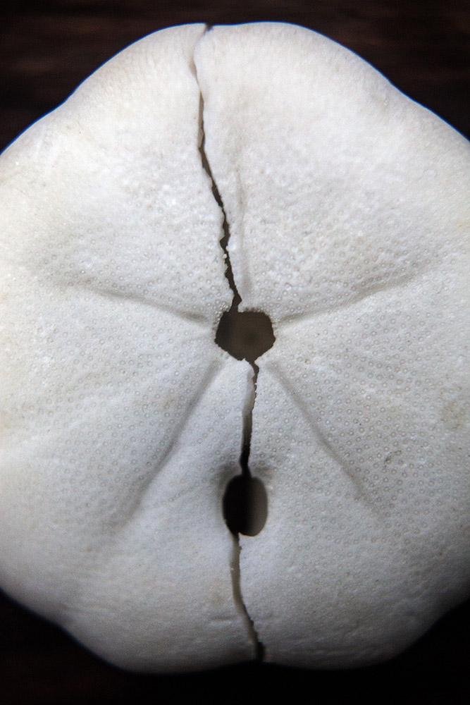Asteroidea-gloria-11.jpg