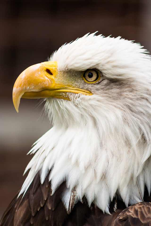 Eagle Eye 1/125th at f/5.6, ISO 100 (240mm) A true symbol of American culture. 'Born in the USA'.