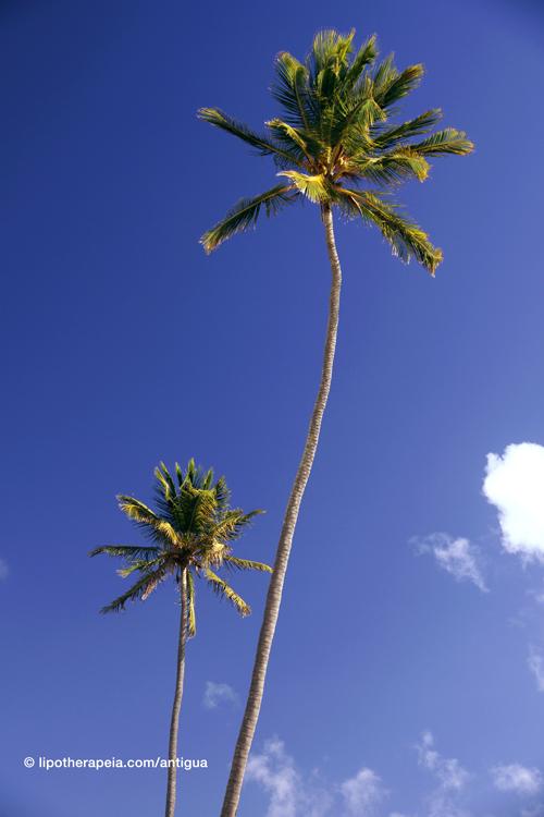 Coconut trees at Darkwood beach, Antigua