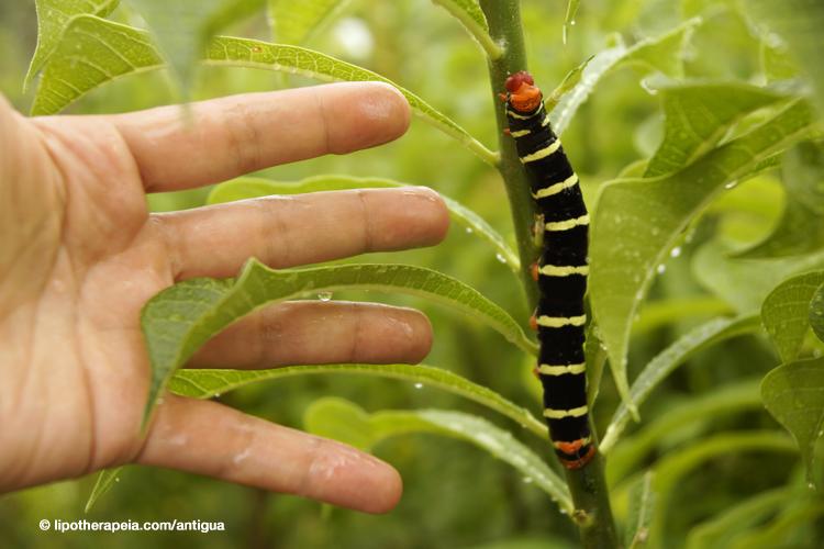 Caterpillar in the garden near Carmichael's, Sugar Ridge hotel, Antigua