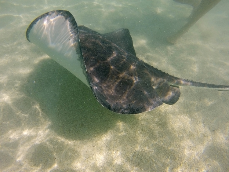 Swimming with stingrays at Stingray City, Antigua