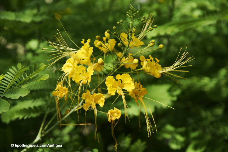 Acacia flower at the grounds of Sugar Ridge hotel, Antigua