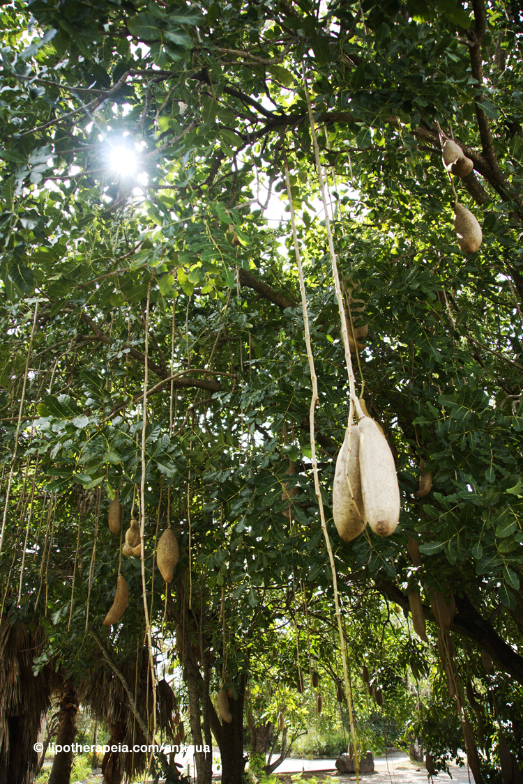 Kigelia africana, or sausage tree, traditionally known to firm skin and enhance the breast - Jolly Harbour, Antigua