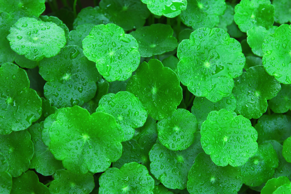 Gotu kola (centella asiatica) is probably the most important anti-cellulite and skin healing and firming natural active