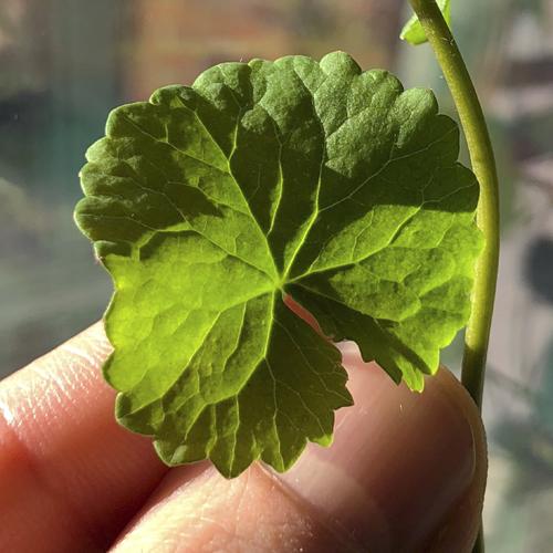 Home grown centella plant