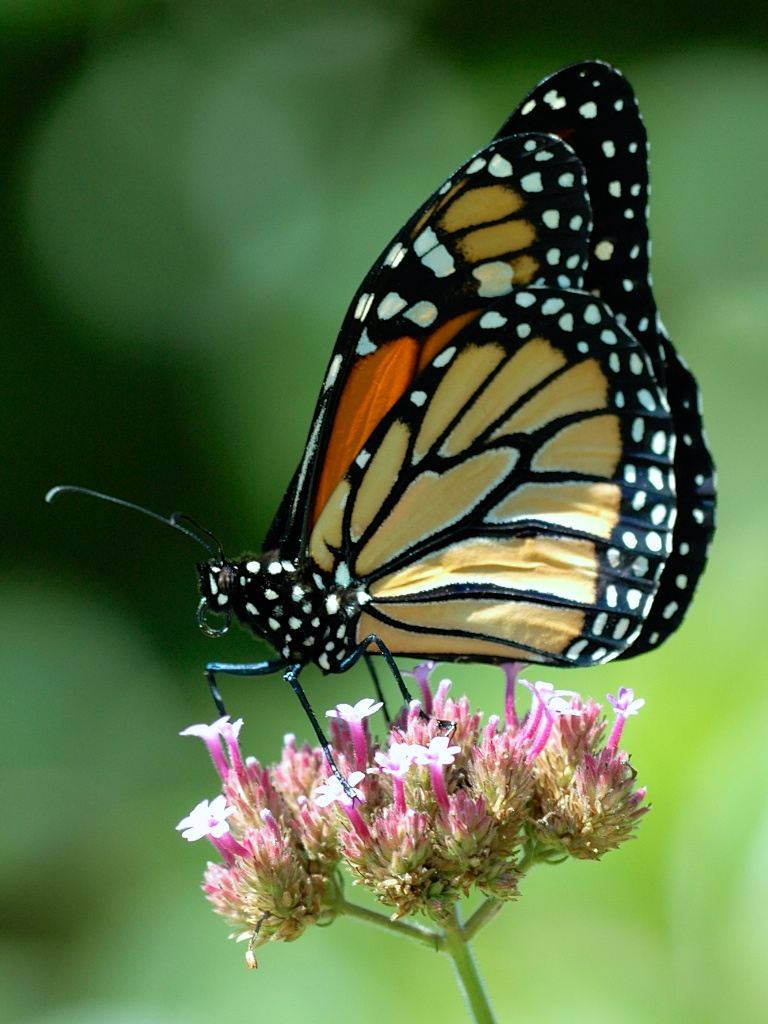 Monarch on Tall Verbena