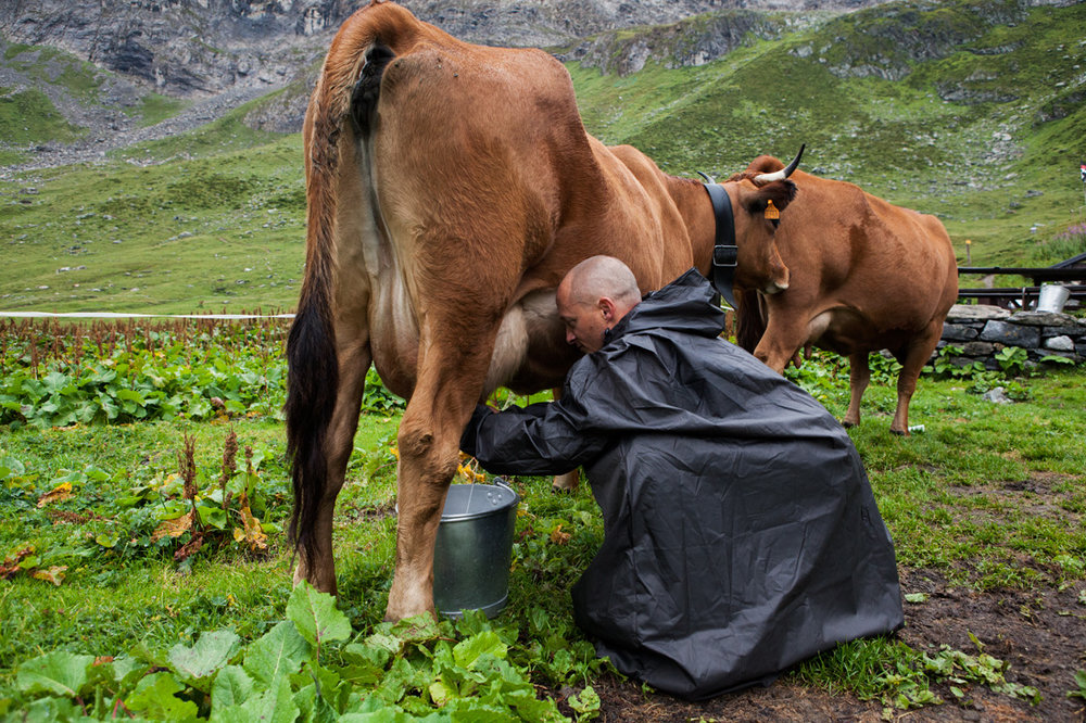 Cows are kept at the Refuge d'entre Le Lac to supply milk for breakfast, cheese making and desserts for visitors. Cows are brought the high alpine pastures in the summer to fatten, a practice that has been happening for hundreds of years.