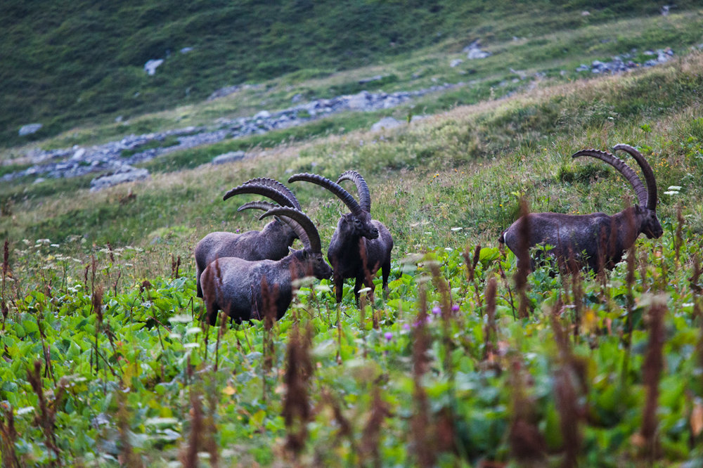 A group of adult male Ibex in the Vanoise NP. The Ibex is the emblem of Vanoise National Park. After years of persecution and being driven to the point of extinction the Ibex is now listed as species of least concern by the IUCN. It is a true success story in wildlife conservation.