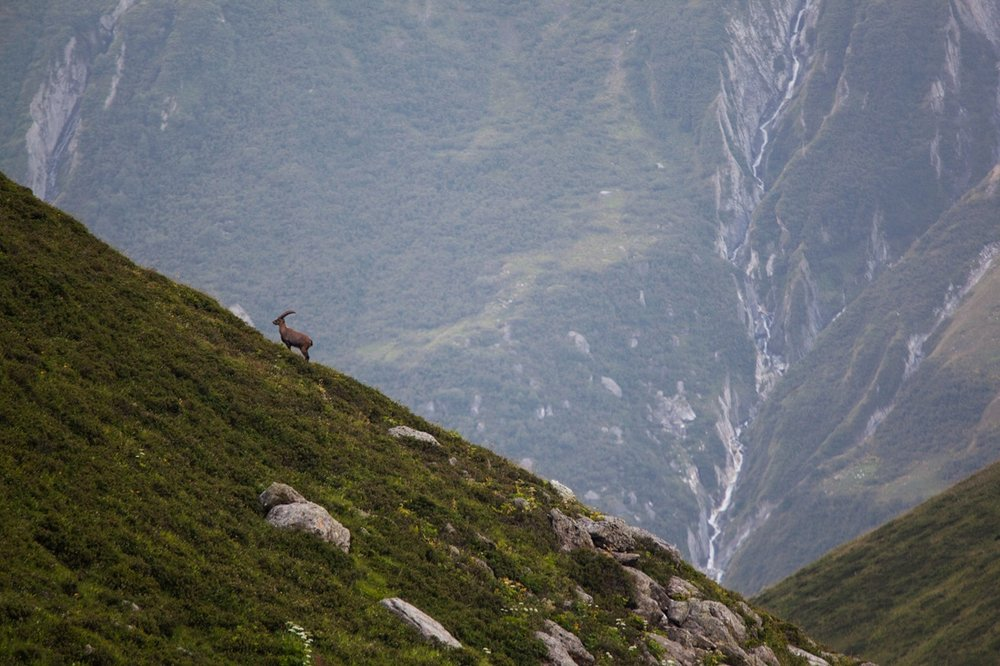 A lone female Ibex climbs a slope in France's Vanoise National Park in the Alps. The Ibex or 'Bouquetin', a species of wild goat was almost wiped across the alps by hunting. In 1963 the park was created to protect the Ibex which was on the brink of extinction. Since then numbers have rebounded and the species is thriving.