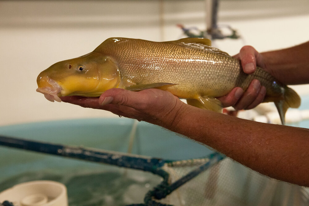 2 year old Razorback Sucker at the Ouray Fish Hatchery. The species  found nowhere else in the world evolved over 3 million years ago. Dams, removal of water for human use and invasive species are the reasons for decline in razorback numbers and the fish's endangered listing.