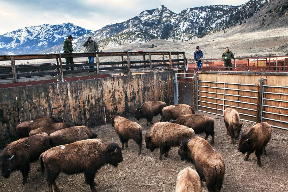 Buffalo awaiting shipment to slaughter in the controversial Stephens Creek facility owned, operated by Yellowstone National Park and paid for with tax payer dollars. The facility lies inside the invisible park boundary on the Old Yellowstone road near Gardiner, Montana. Whether buffalo test positive or negative for brucellosis has no bearing on whether they get shipped to slaughter. The bison are lured into traps inside the park and all will go to slaughter. The national park aims to reduce bison numbers to around 3000 and the animals are baited arbitrarily into the Stephens Creeks facility to meet these numbers. Park officials state this is the carrying capacity of the 2 million acre park and deny that it has anything to do with meeting the demands of ranchers to keep bison grazing off public lands.
