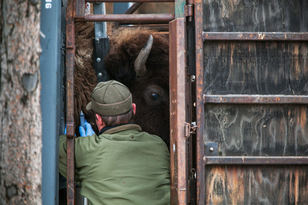 While a bison is immobilized in a squeeze chute, Yellowstone biologist, Doug Blanton extracts a blood sample for brucellosis testing.