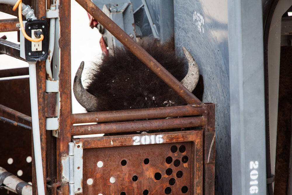 A bison's head protrudes out of a squeeze shoot at the Stephens Creek processing facility inside Yellowstone National Park. Once bison are weighed and blood samples taken they are shipped to slaughter facilities in Montana from where the meat is distributed to tribes and food banks.