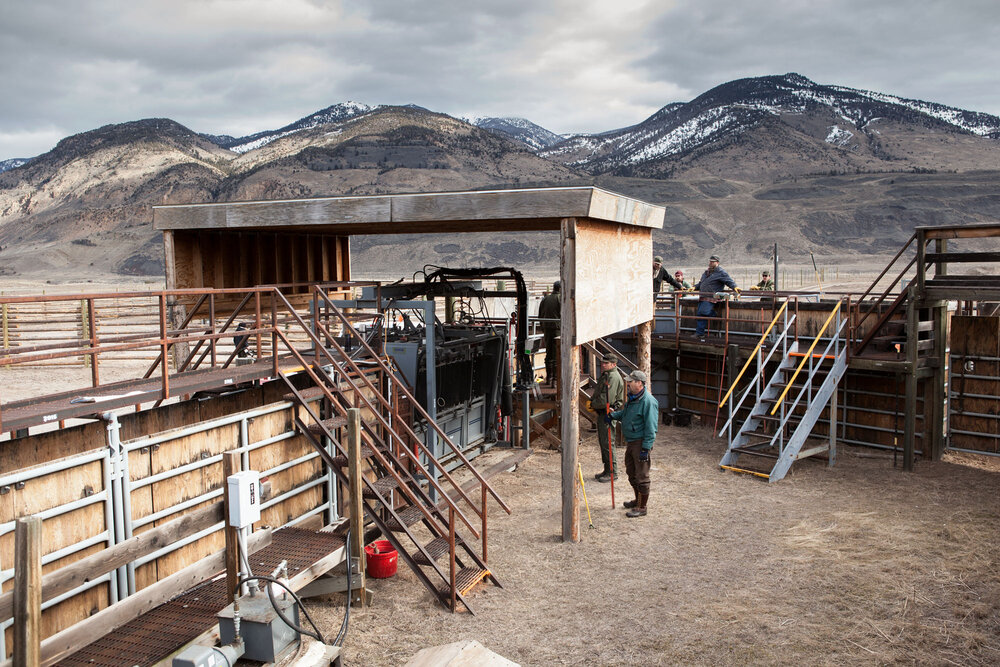 The Stephens Creek facility in Yellowstone National Park, showing the covered squeeze chute where Buffalo are tagged, weighed, and blood samples taken.