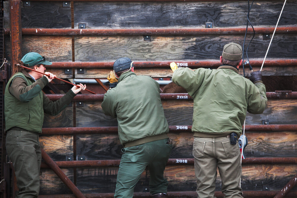 Angie Stewart (L), Doug Blanton (R), Yellowstone Park biologists and Kevin Dooely, Park Ranger, use prods to force Buffalo towards a trailer for transport to a slaughter facility.
