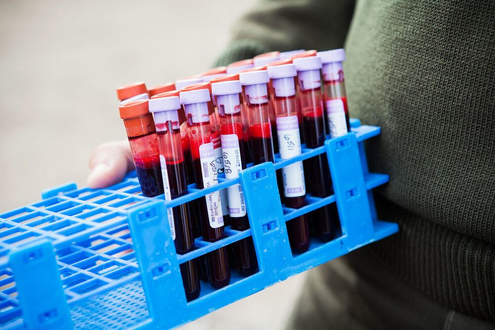 Blood samples taken by Yellowstone park biologists for Brucellosis tests. Brucellosis can cause cows to abort. There has never been a recorded case of transmission from bison to cattle. Recent studies by the USGS have shown that in fact the biggest threat to cattle of brucellosis is by transmission from elk.
