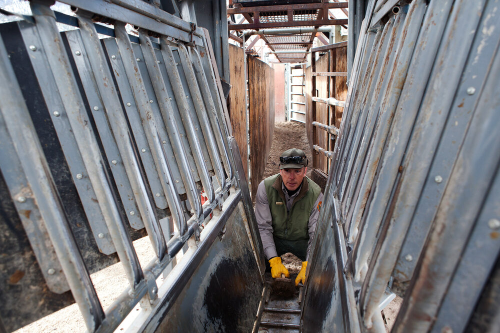 Kevin Dooley a Yellowstone National Park ranger cleans out the squeeze chute apparatus of blood and hair after the processing of bison is complete. Bison are injured while trapped and struggling within the confines and harsh environment of the chute.