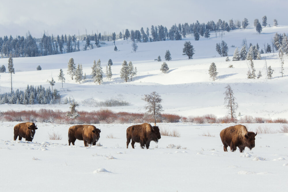 Buffalo roam free on Blacktail Plateau inside Yellowstone National Park. The area is a spring and summer feeding ground for the bison but during the winter they will move to lower elevations nearby in the town of Gardiner and elsewhere on the park border where they run into conflict with ranchers trying to keep them off public and private lands used for cattle grazing.