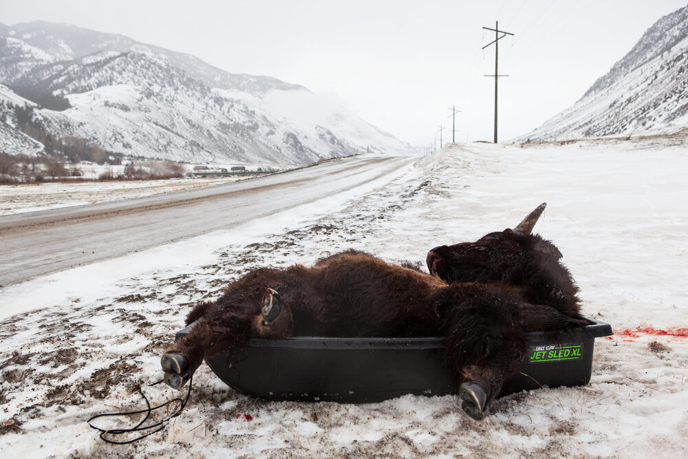 A bison carcass lies by the side of the road after being shot after it crossed out of the invisible Yellowstone National Park border.