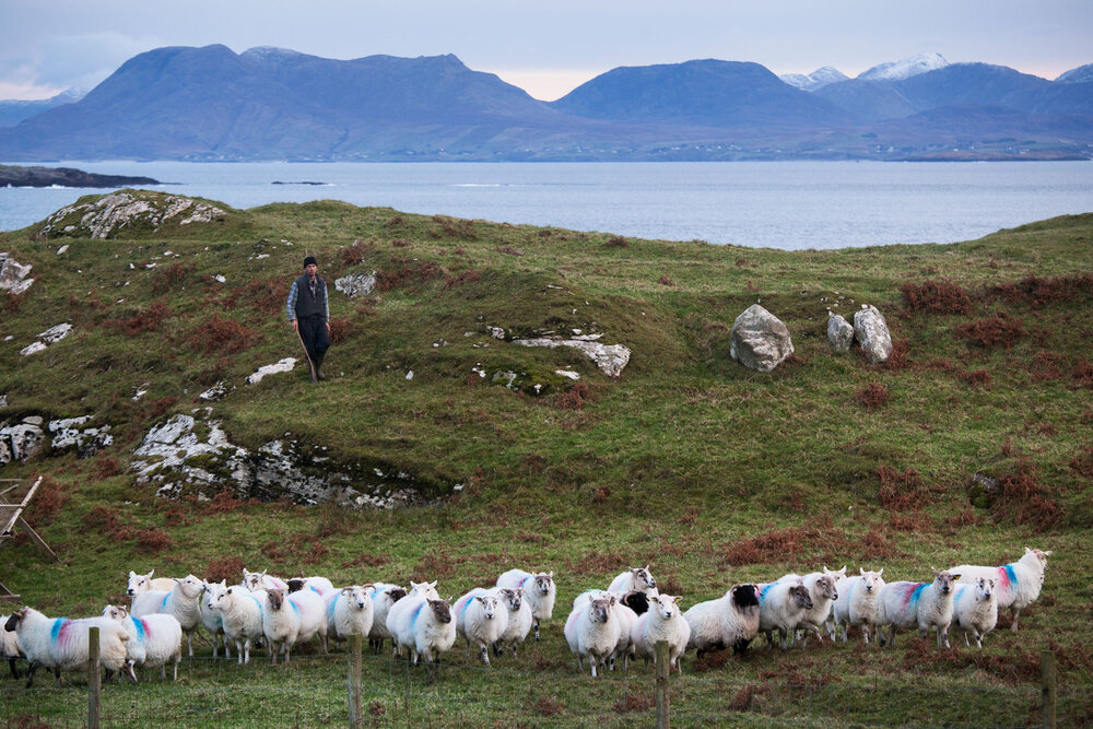 Bernard Heaney, lifelong resident of Inishturk, managing his sheep. He is also a lobster fisherman and manages the electricity generators on the isalnd. © Michelle McCarron