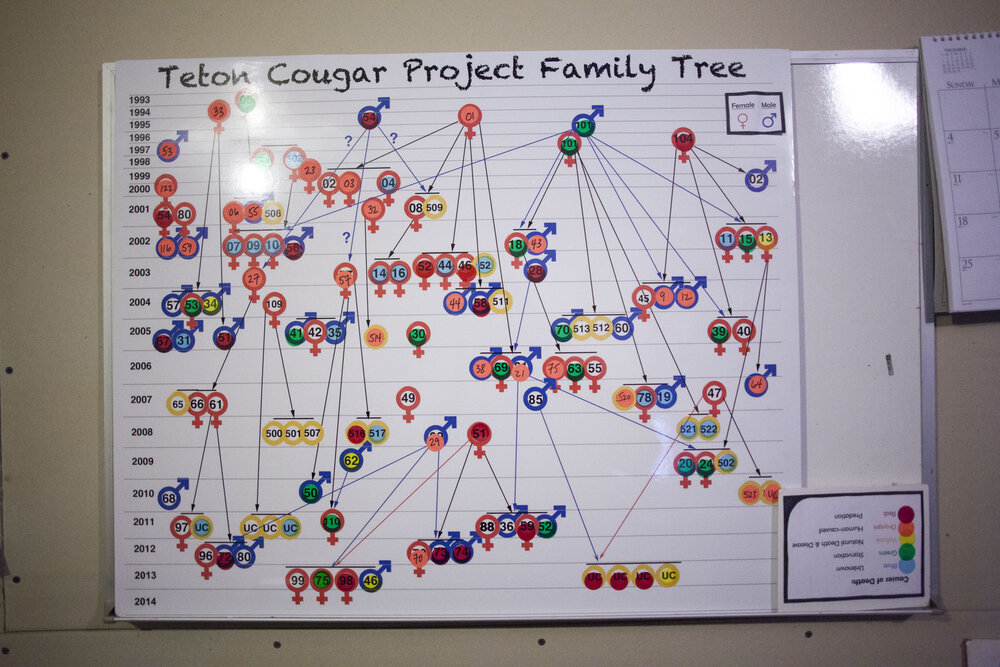 Teton Cougar Project HQ, Kelly, Wyoming, December 2014. The 'family tree' shows all the cats that have been tracked and observed since the inception of the study by Elbroch's team