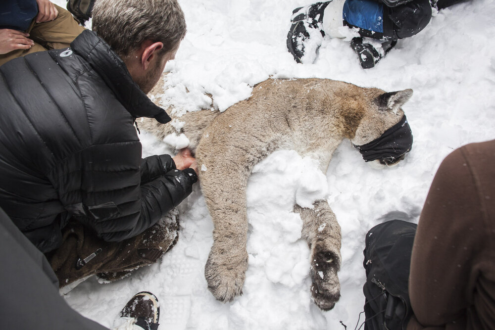 M85 a 7 year old cougar male weighing 120lbs lies sedated after capture. Casey McFarland, wildlife tracking specialist and naturalist packs snow around M85 to lower his temperature. The cat's eyes are covered to help calm his adrenaline and prevent any stress. Safety of  the cat is the highest priority during capture.
