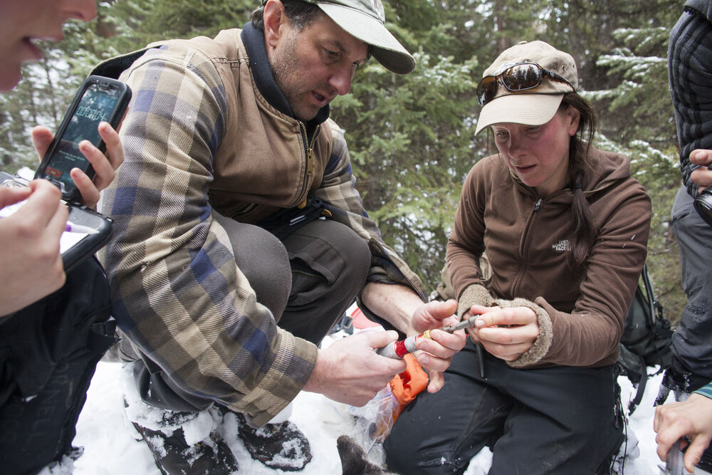 Dr Mark Elbroch, director of the Teton Cougar Project leads biologist Michelle Peziol in administration of drugs, examination and collection of samples from mountain lion M85 in the depths of Bridger Teton National Forest, western Wyoming.