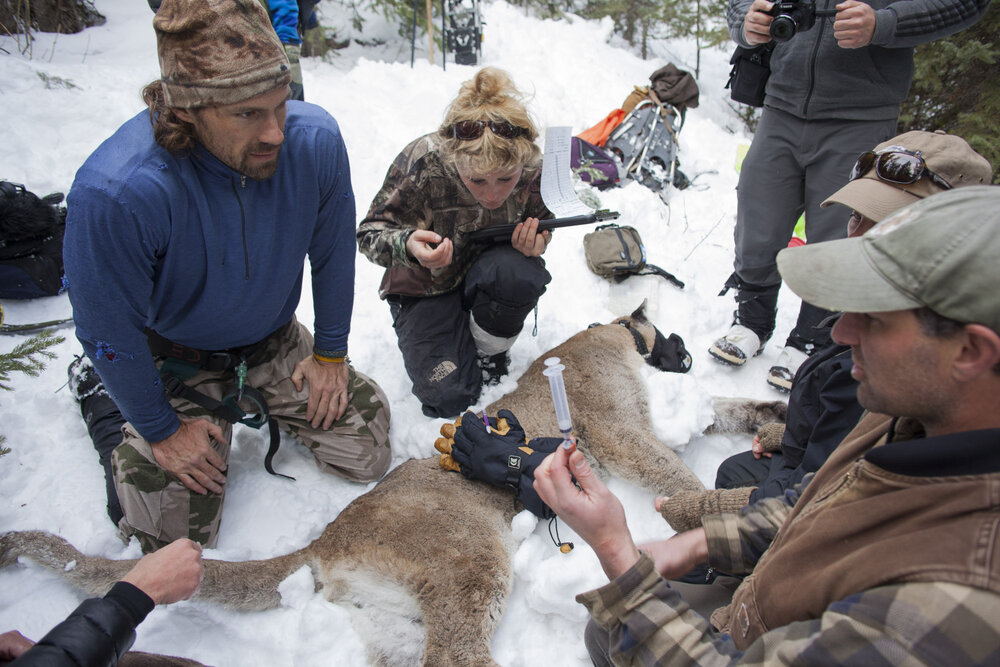 Boone Smith, big cat capture specialist & biologist with Dr Mark Elbroch director of the Teton Cougar Project and biologist Anna Kusler. Elbroch is about to take a blood sample from M85 a 7 year old large male cougar which the project has studied for it's entire life.