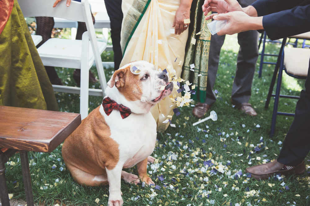 bulldog wedding