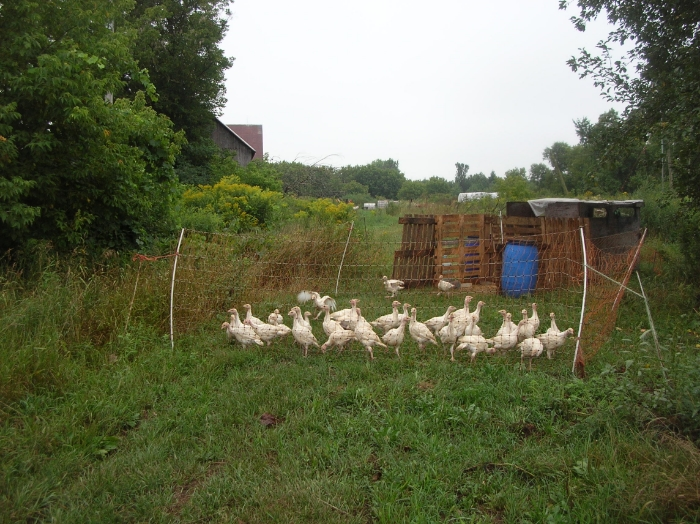Pickle Patch turkeys in the spring. Their outdoor pen is moved to give them access to fresh grass as needed.