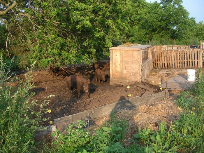 Pigs enjoying summer mud...
