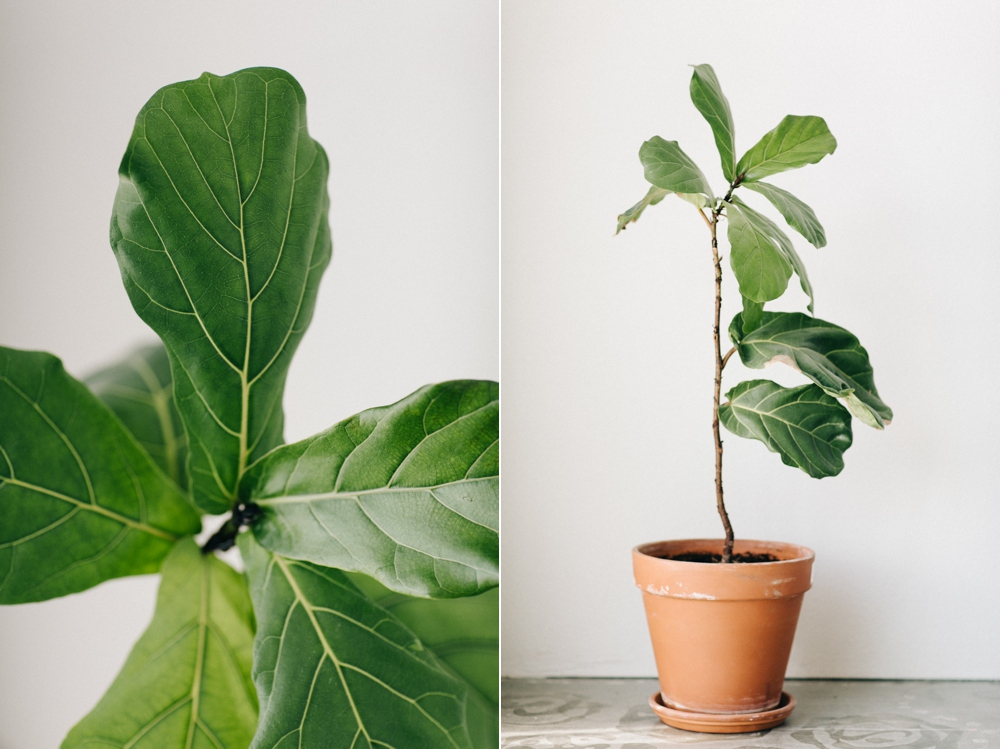 047_Fiddle_Leaf_Fig_Bend_Oregon_Photo.JPG
