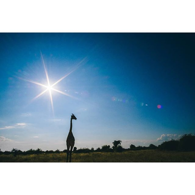 Giraffes are the most handsome animals. . . . #giraffe #chobenationalpark #safari #africa #chobe #botswana #samyang12mm #fujifilm