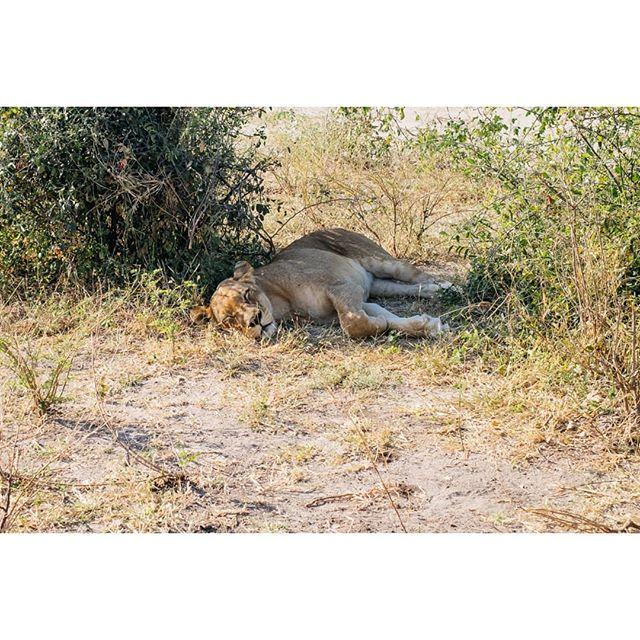Lion, antelope, and elephants. Chobe National Park, Botswana. . . . #choberiver #chobenationalpark #africa #botswana #botswanasafari #safari #animals #animalphotography #wildlifephotography #fujifilm