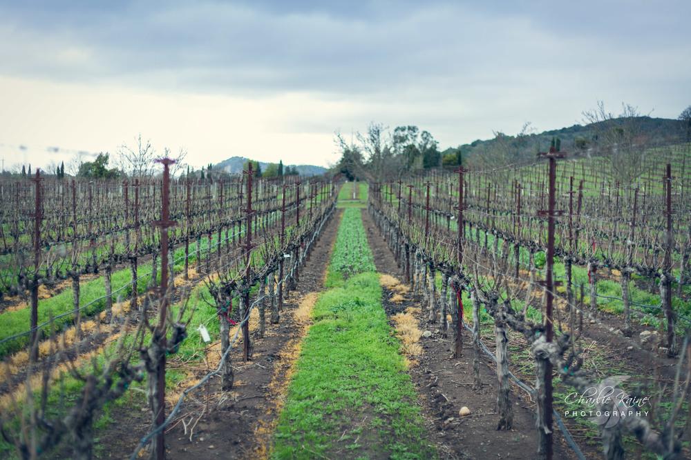 Empty vineyards at Darioush Winery in Napa, CA.